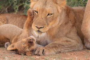 cub_mother_young_nest_nature_love_mother_and_child_young_animal-616295