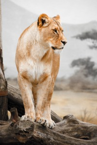 lioness-profile-871294081185X8n
